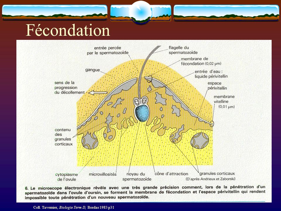 Fécondation Coll. Tavernier, Biologie Term D, Bordas 1983 p31