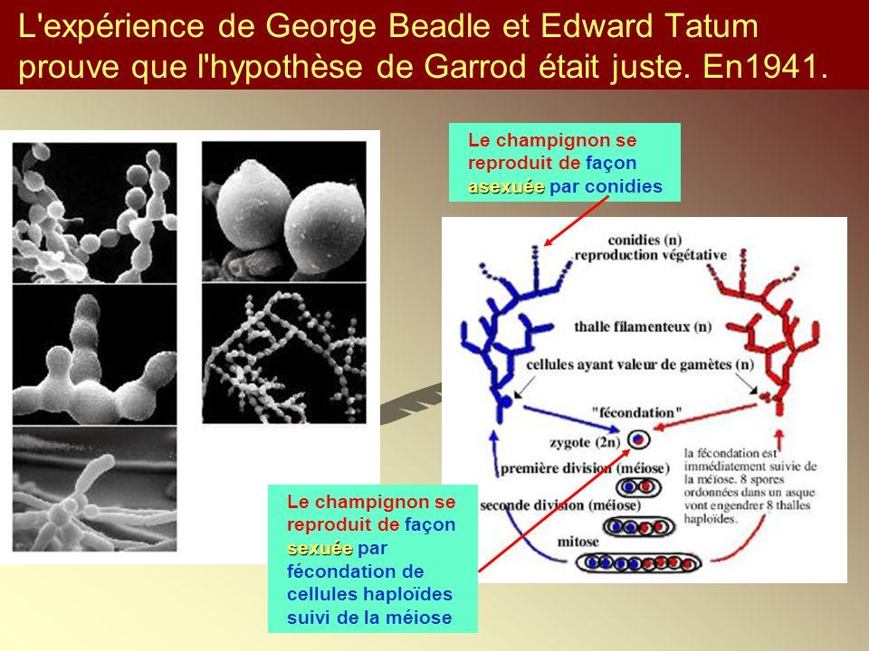 L expérience de George Beadle et Edward Tatum prouve que l hypothèse de Garrod était juste. En1941.