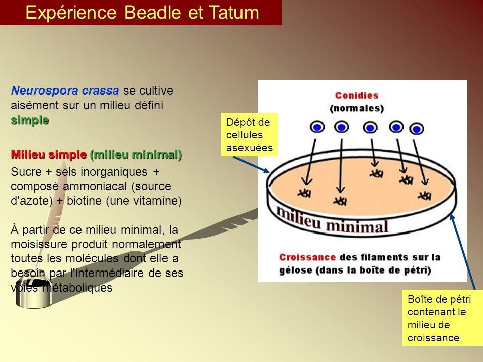 Expérience Beadle et Tatum