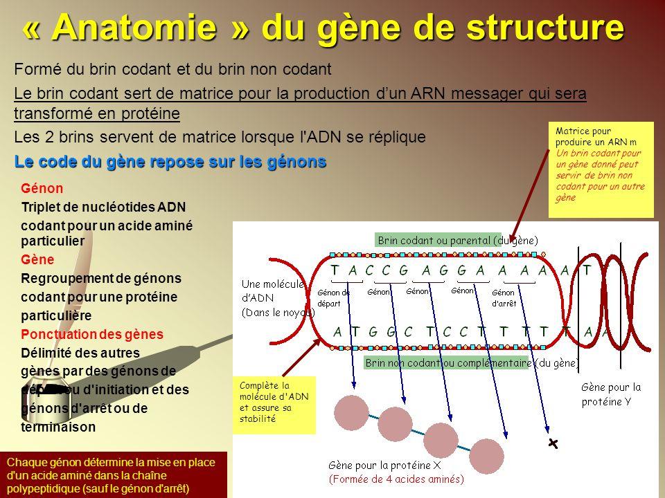 « Anatomie » du gène de structure