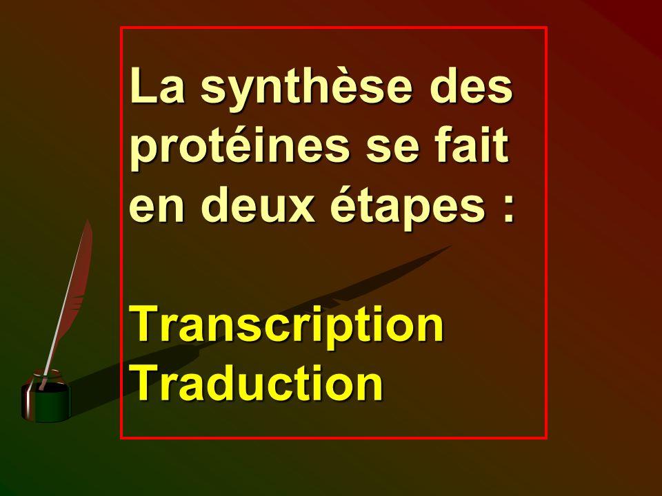 La synthèse des protéines se fait en deux étapes : Transcription Traduction