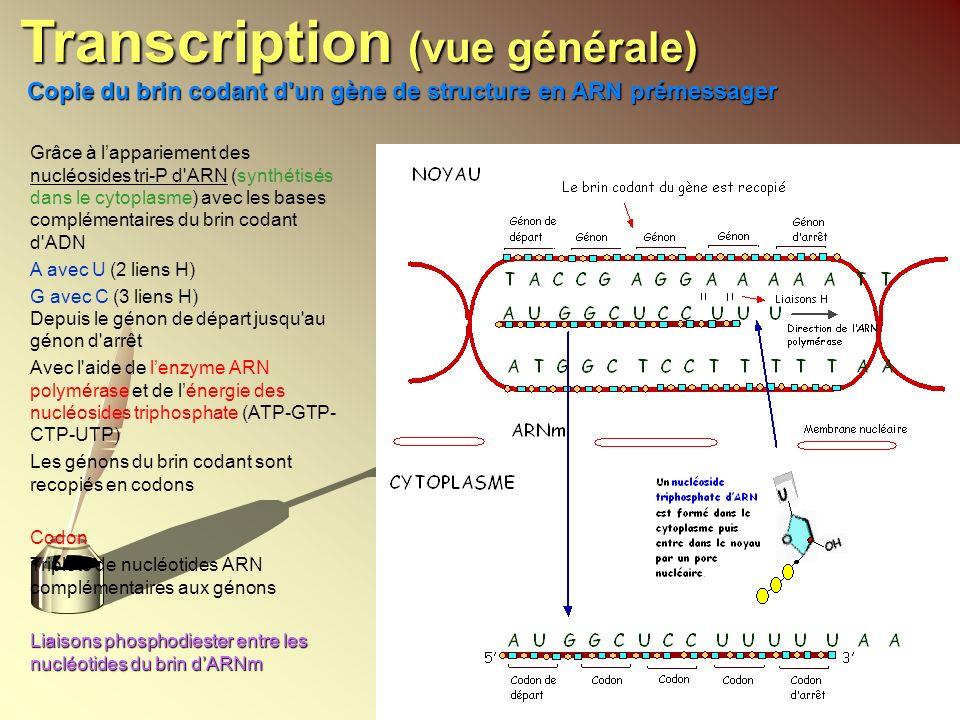 Transcription (vue générale)