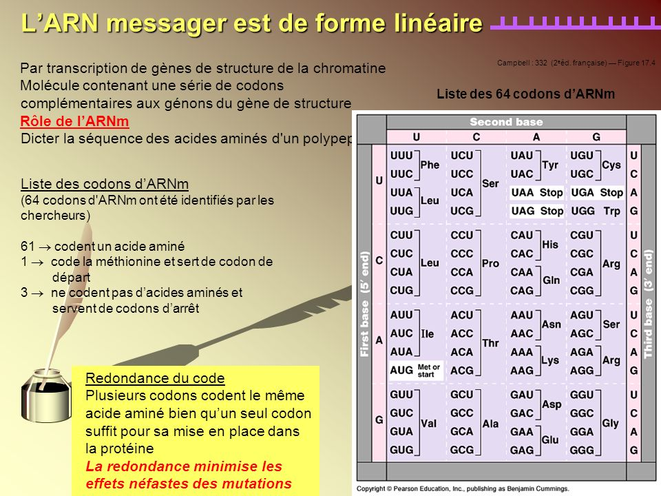 L'ARN messager est de forme linéaire