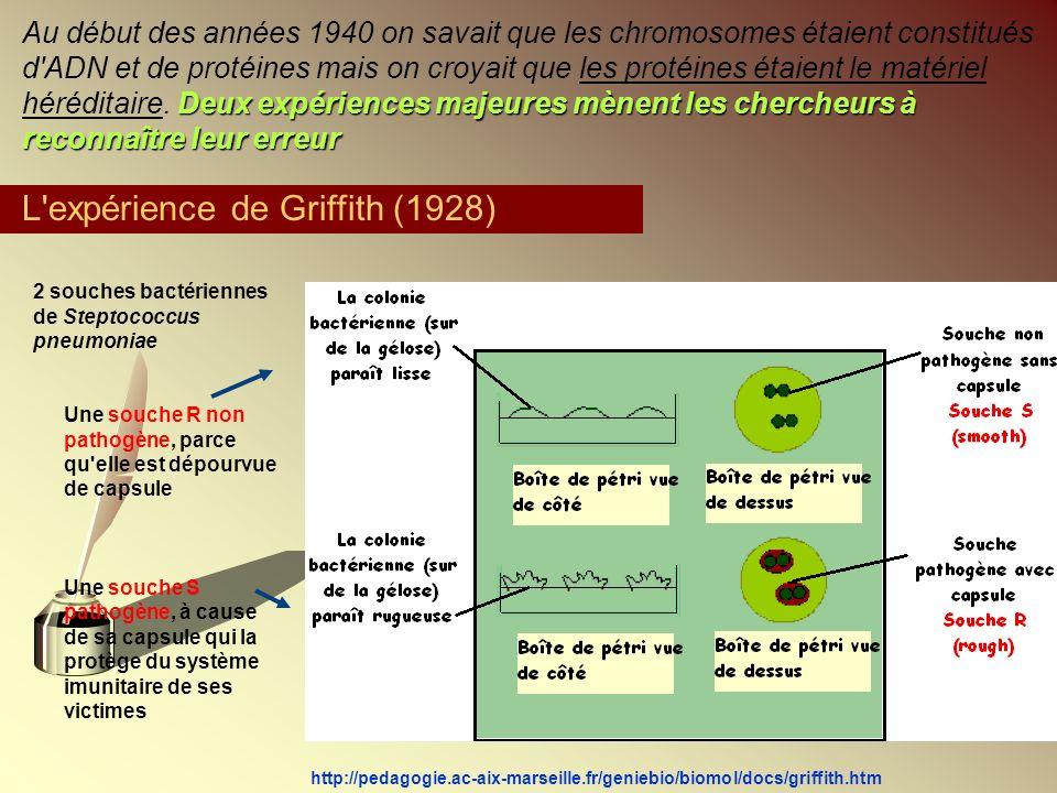 L expérience de Griffith (1928)