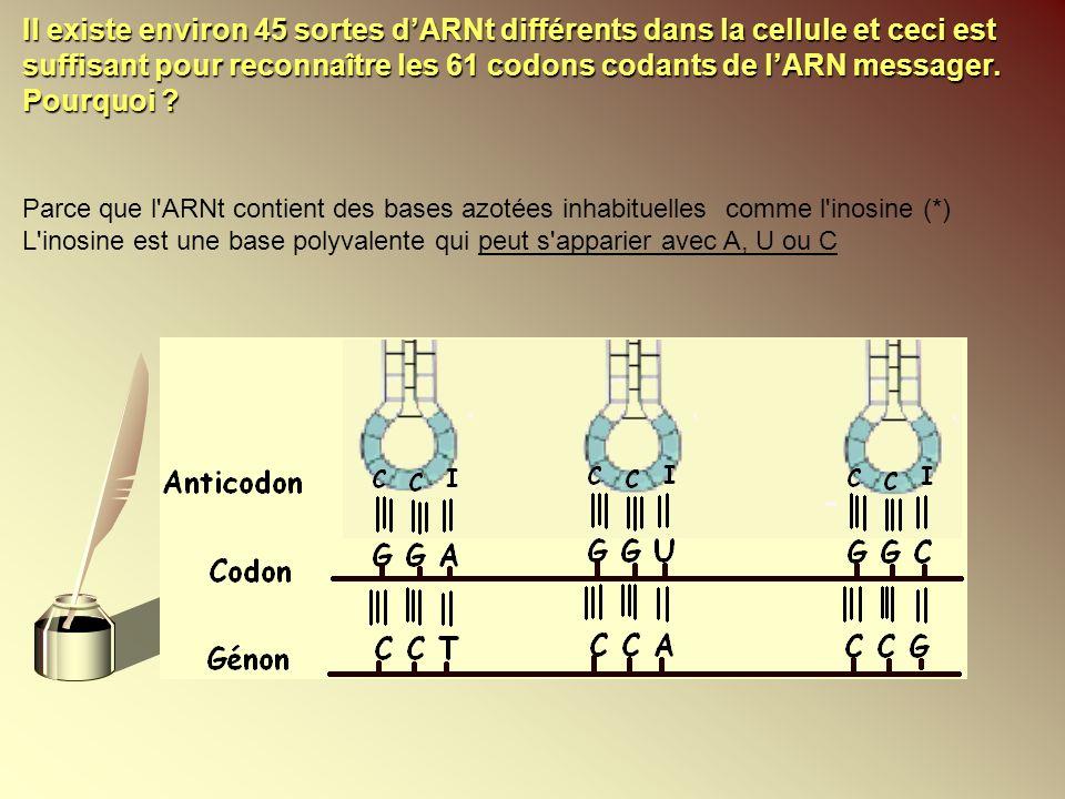 Il existe environ 45 sortes d'ARNt différents dans la cellule et ceci est suffisant pour reconnaître les 61 codons codants de l'ARN messager. Pourquoi