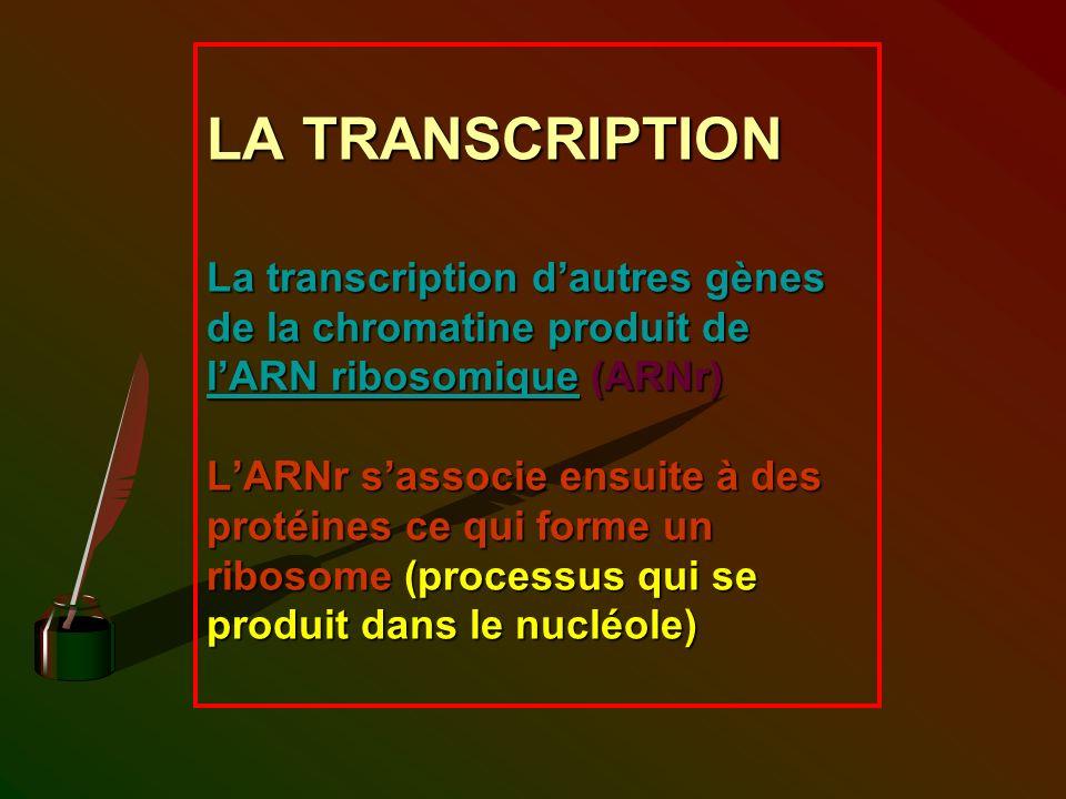 LA TRANSCRIPTION La transcription d'autres gènes de la chromatine produit de l'ARN ribosomique (ARNr) L'ARNr s'associe ensuite à des protéines ce qui forme un ribosome (processus qui se produit dans le nucléole)