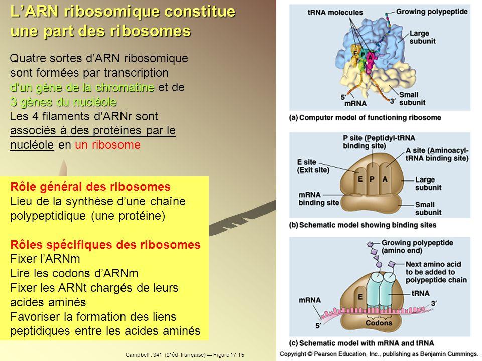 L'ARN ribosomique constitue une part des ribosomes