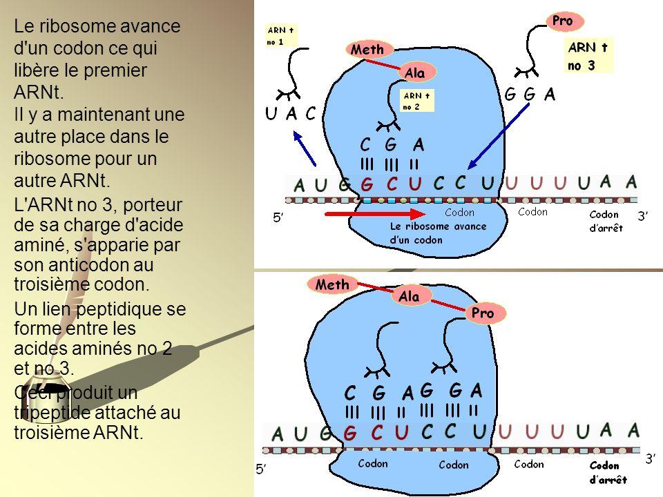 Le ribosome avance d un codon ce qui libère le premier ARNt.