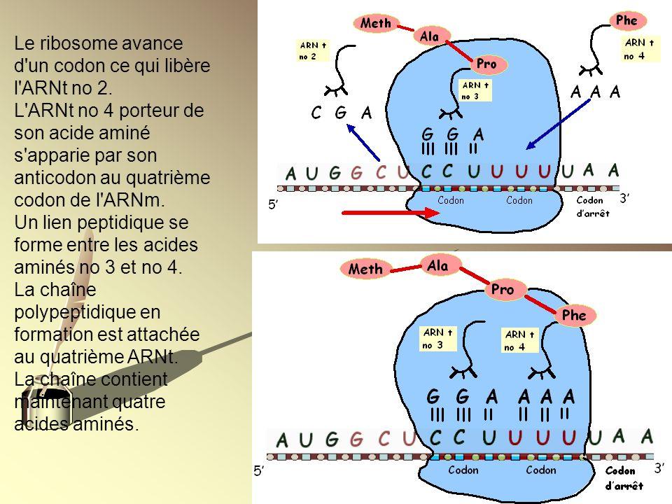 Le ribosome avance d un codon ce qui libère l ARNt no 2.