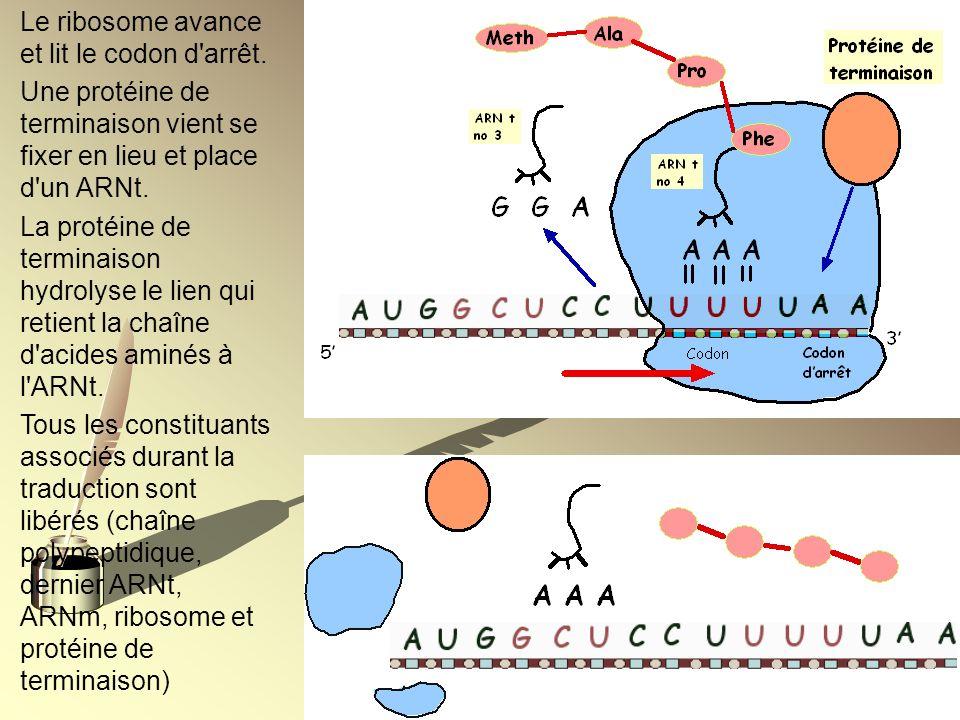 Le ribosome avance et lit le codon d arrêt.