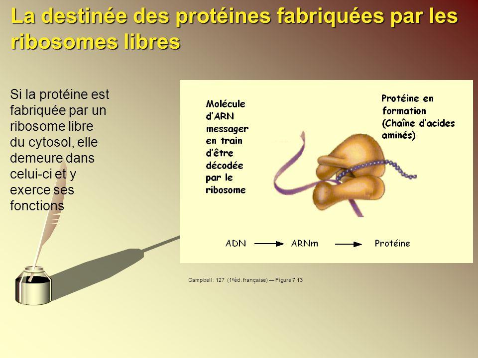 La destinée des protéines fabriquées par les ribosomes libres