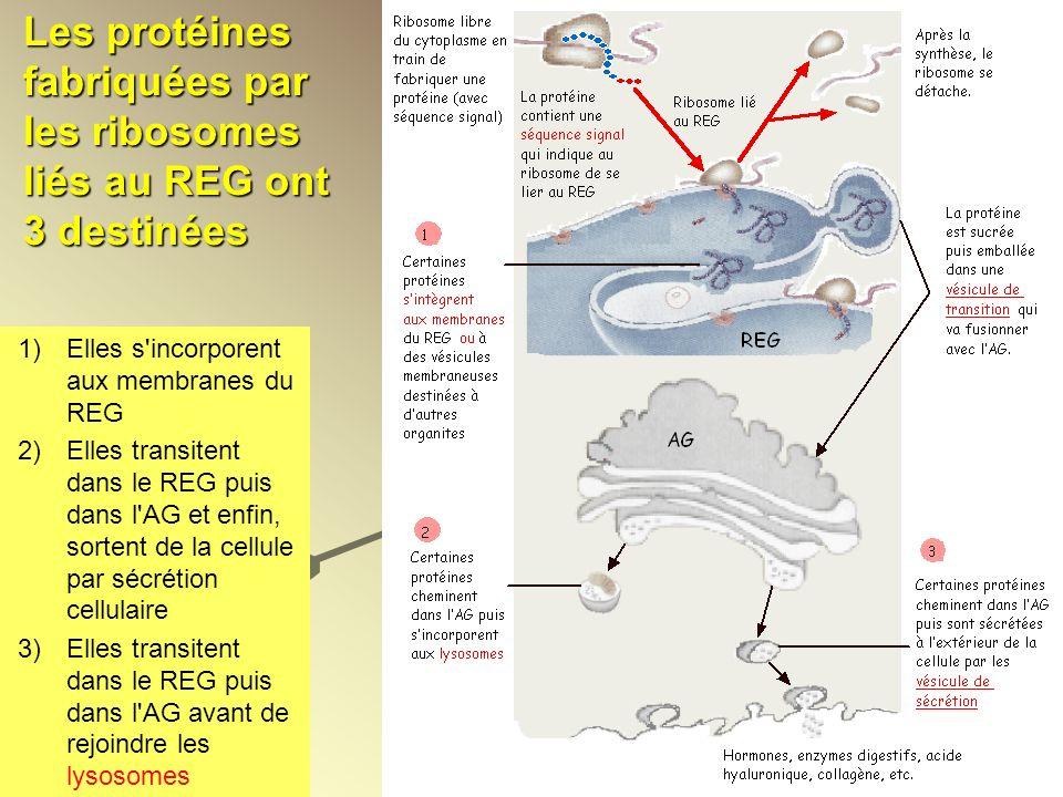 Les protéines fabriquées par les ribosomes liés au REG ont 3 destinées