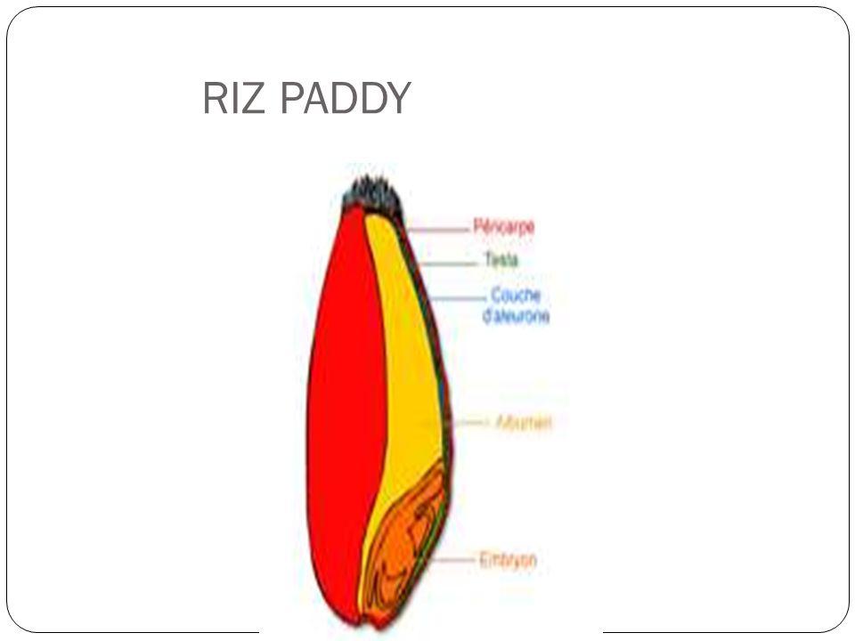 RIZ PADDY