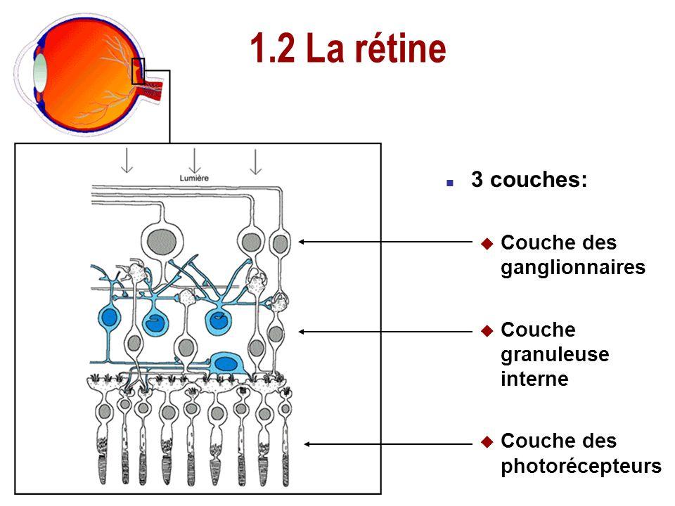 1.2 La rétine 3 couches: Couche des ganglionnaires