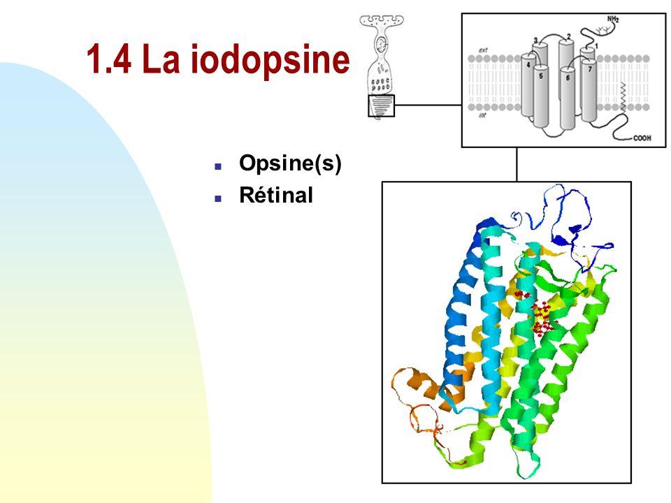 1.4 La iodopsine Opsine(s) Rétinal