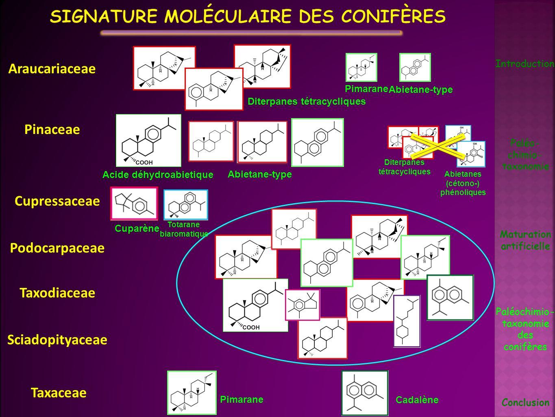 Signature moléculaire des conifères
