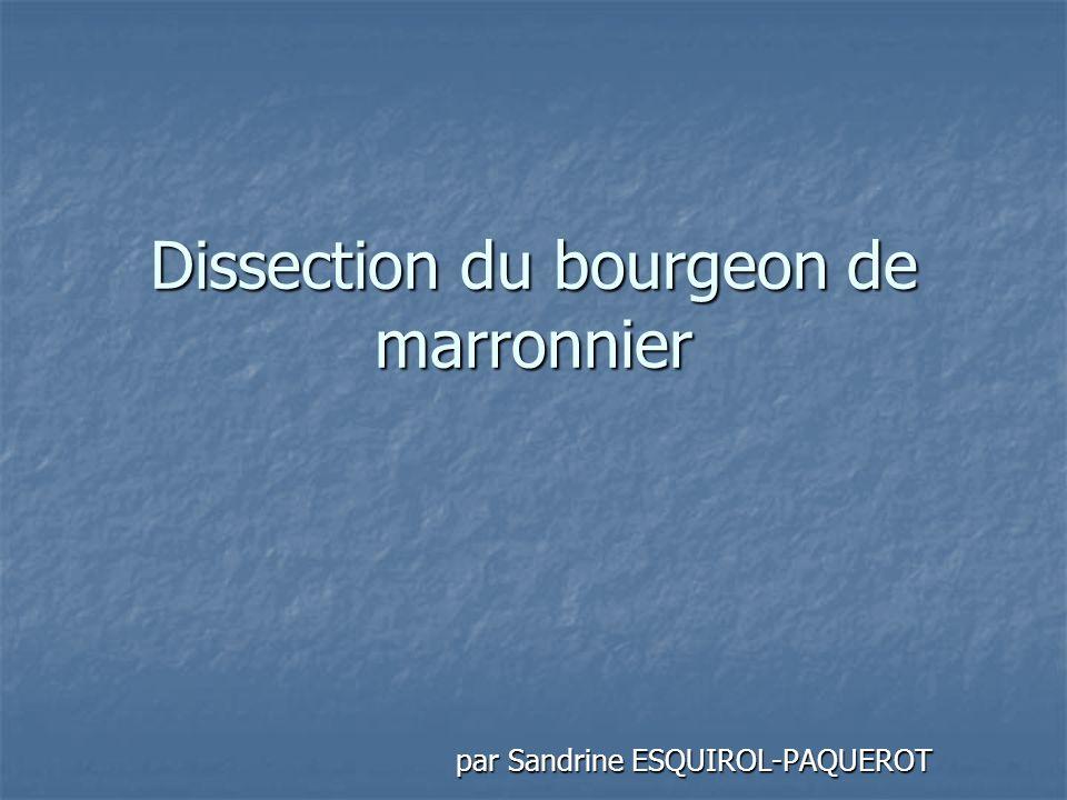 Dissection du bourgeon de marronnier
