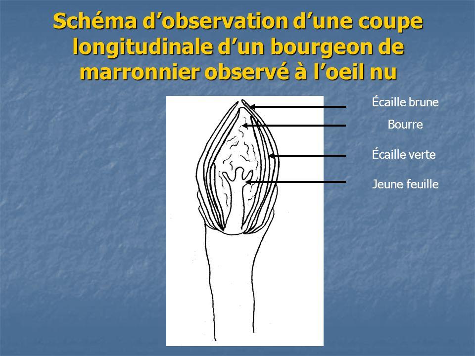 Schéma d'observation d'une coupe longitudinale d'un bourgeon de marronnier observé à l'oeil nu
