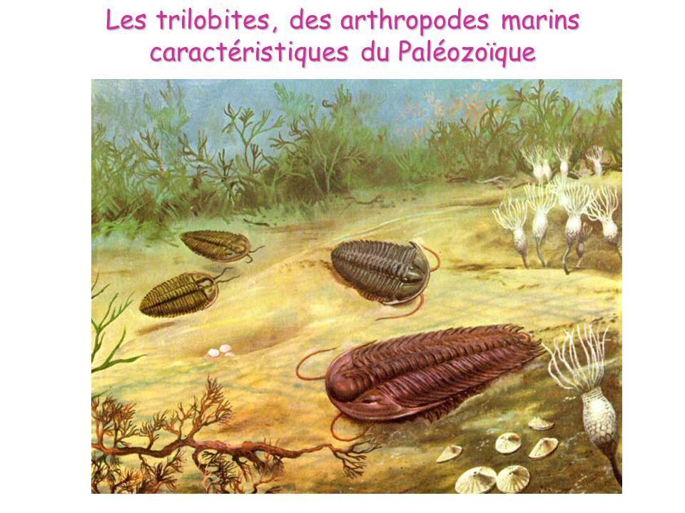 Les trilobites, des arthropodes marins caractéristiques du Paléozoïque