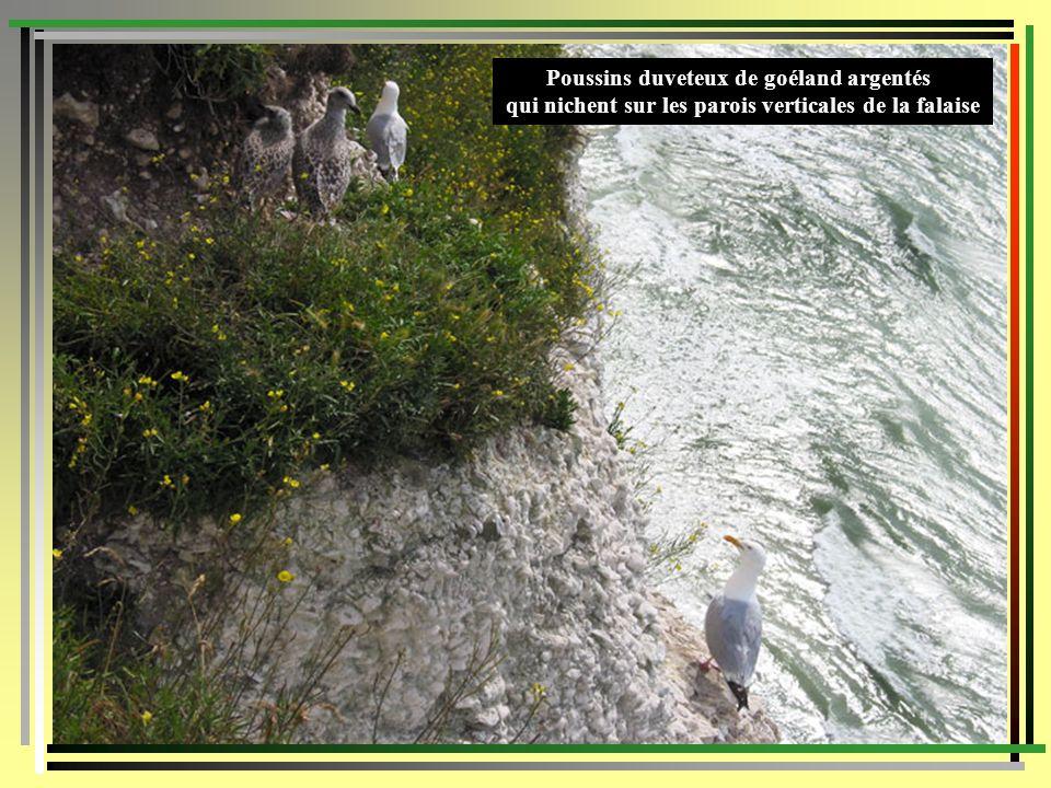 Poussins duveteux de goéland argentés