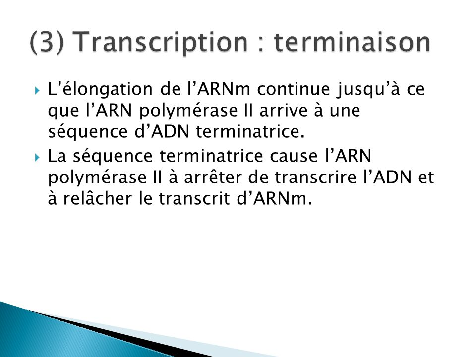 (3) Transcription : terminaison