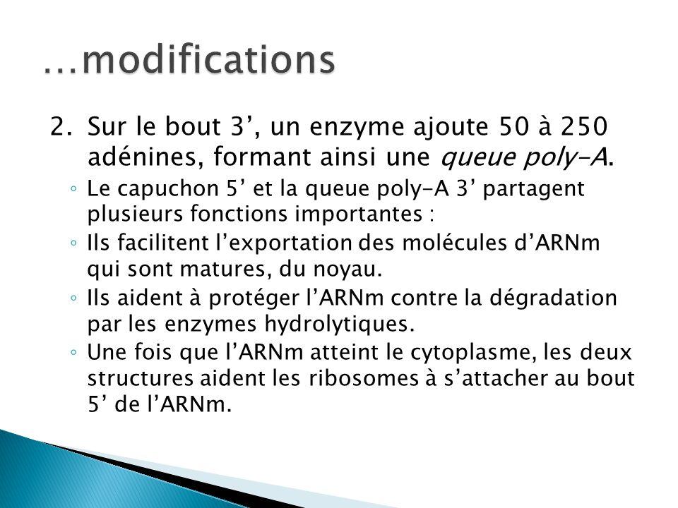 …modifications 2. Sur le bout 3', un enzyme ajoute 50 à 250 adénines, formant ainsi une queue poly-A.