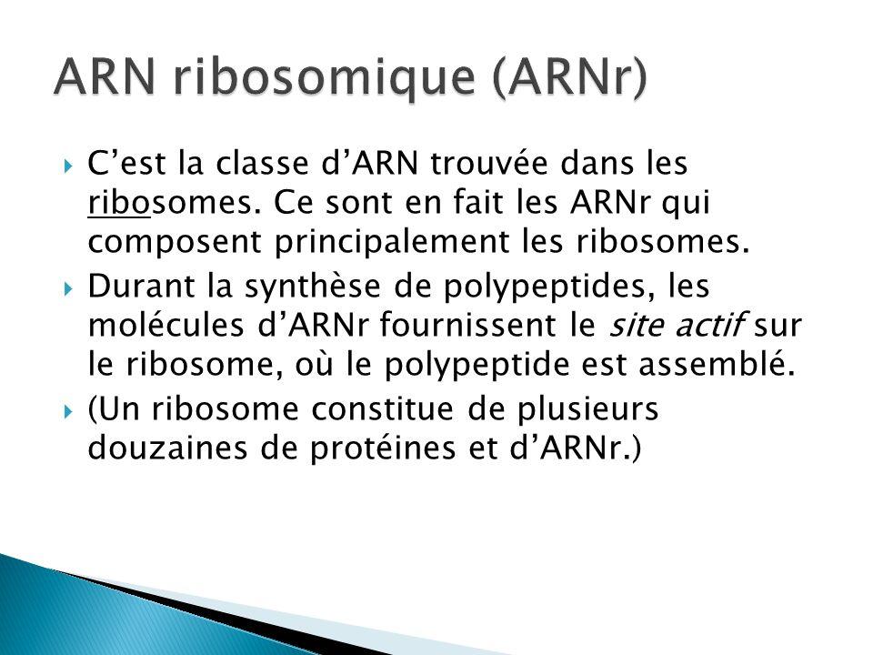 ARN ribosomique (ARNr)