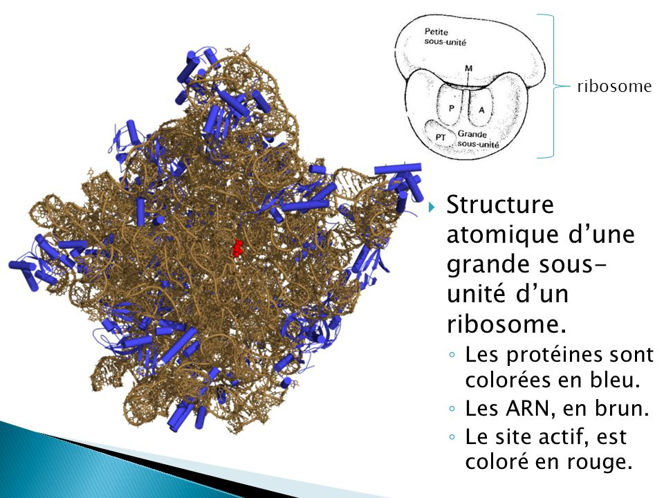 Structure atomique d'une grande sous- unité d'un ribosome.