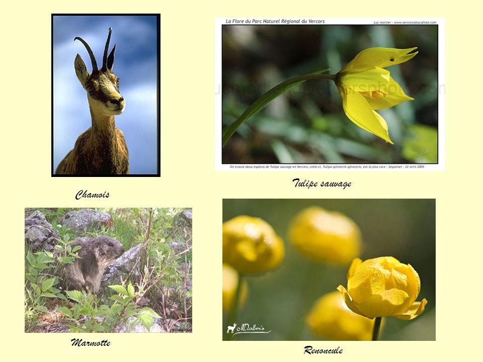 Tulipe sauvage Chamois Marmotte Renoncule
