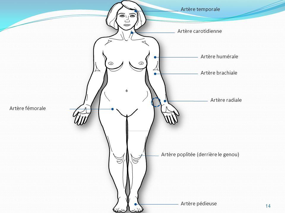 Artère temporale Artère carotidienne. Artère brachiale. Artère radiale. Artère humérale. Artère poplitée (derrière le genou)