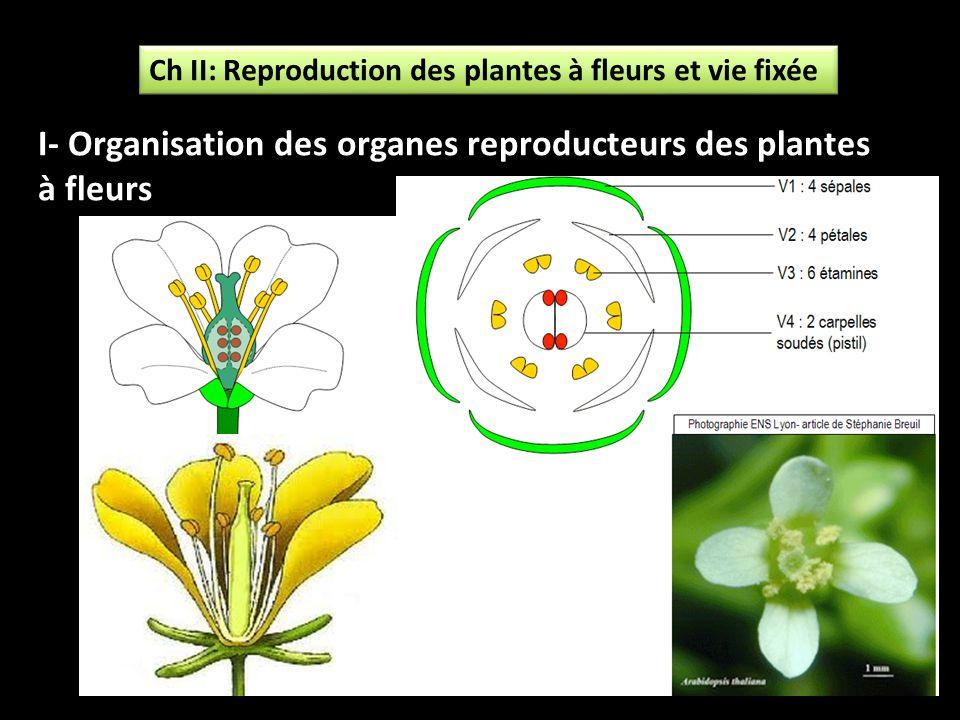 I- Organisation des organes reproducteurs des plantes à fleurs