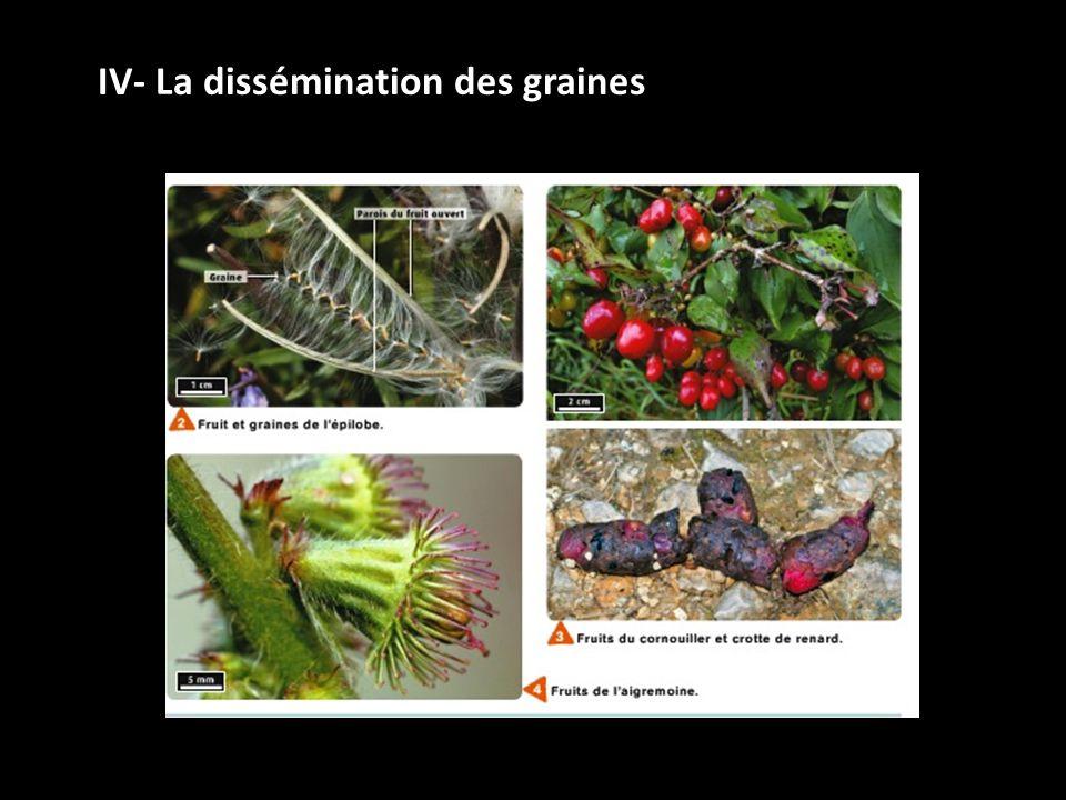 IV- La dissémination des graines