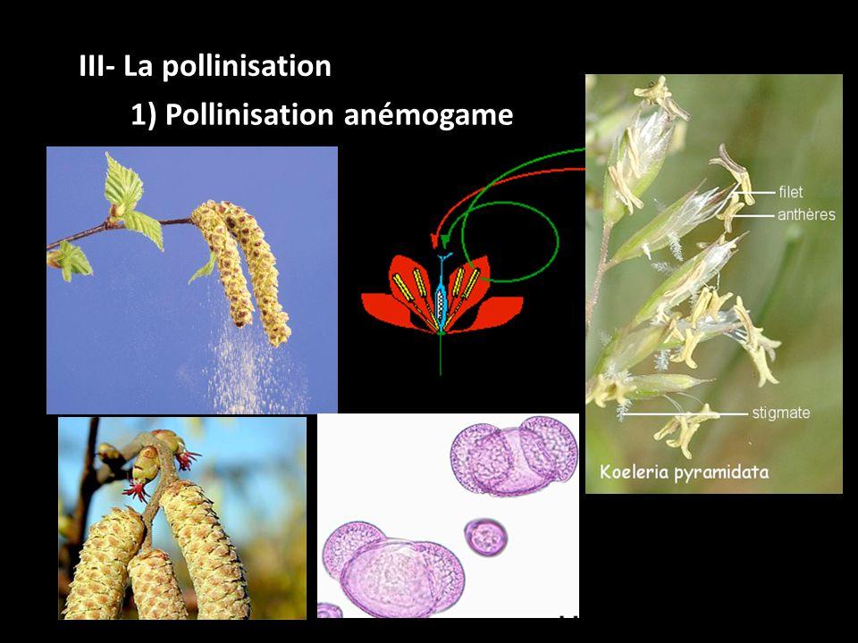 III- La pollinisation 1) Pollinisation anémogame