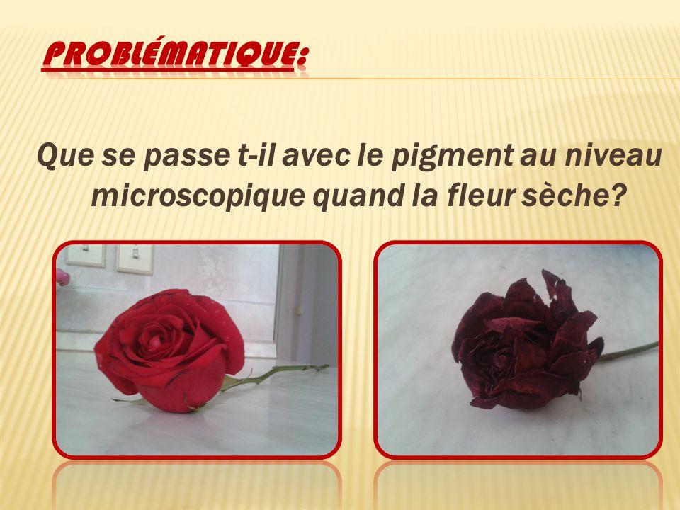 Problématique: Que se passe t-il avec le pigment au niveau microscopique quand la fleur sèche
