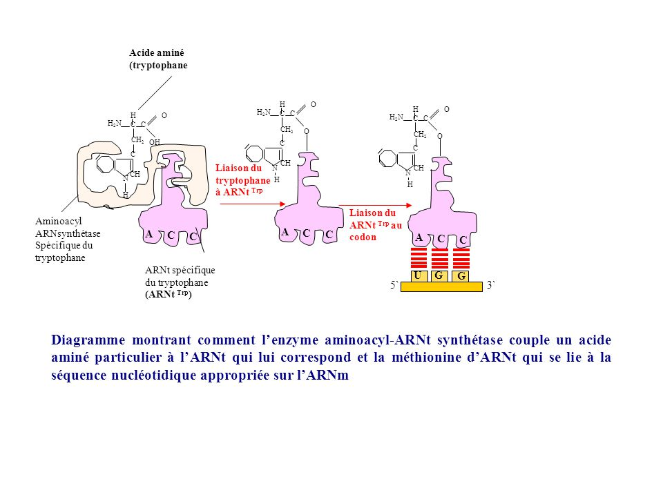 H CH. C. N. CH2. H O. C C. OH. H2N. Acide aminé (tryptophane. H O.