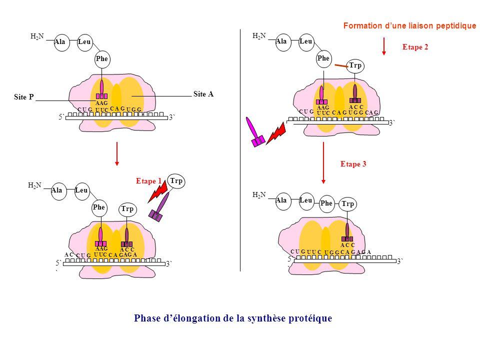 Phase d'élongation de la synthèse protéique