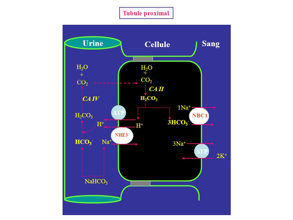 Urine Cellule Sang Tubule proximal H2O H2O + + CO2 CO2 CA II CA IV