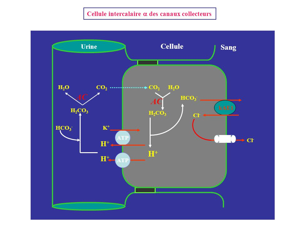 AC AC H+ Cellule Sang H+ H+