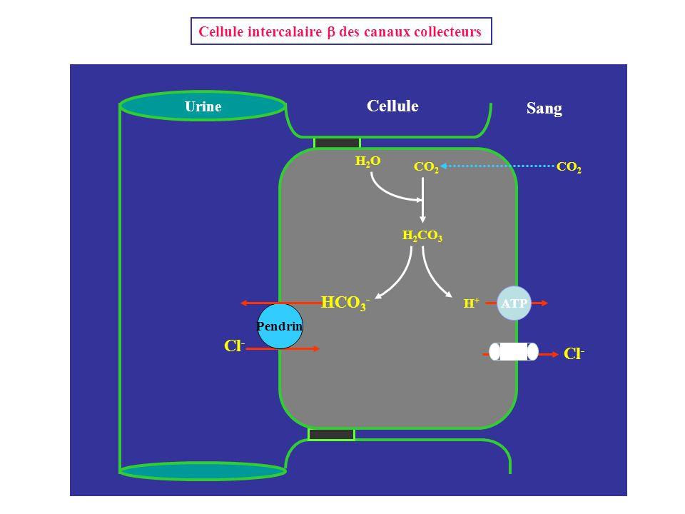 Cellule Sang HCO3- Cl- Cl-