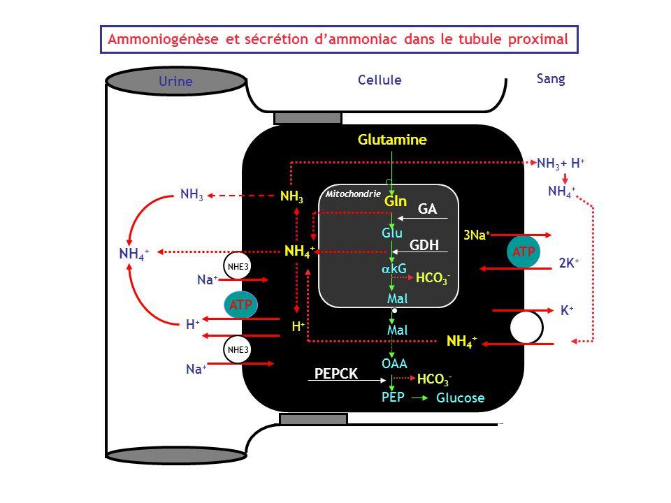 Ammoniogénèse et sécrétion d'ammoniac dans le tubule proximal
