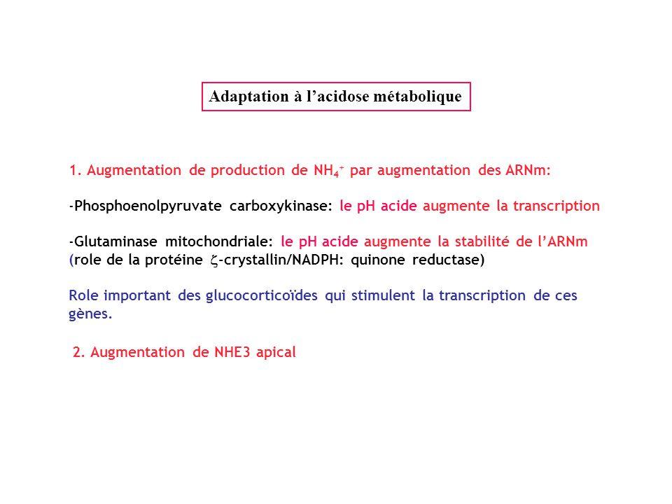 Adaptation à l'acidose métabolique
