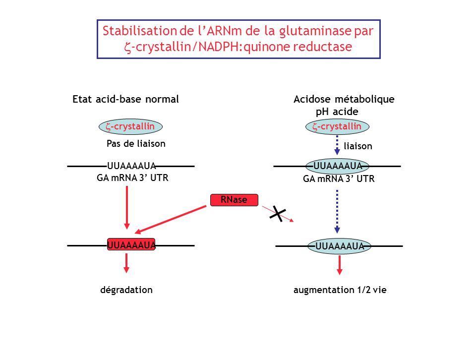 Stabilisation de l'ARNm de la glutaminase par