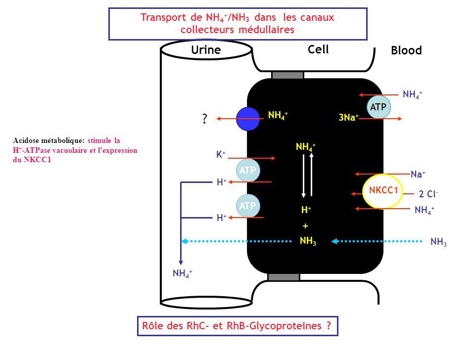 Transport de NH4+/NH3 dans les canaux collecteurs médullaires