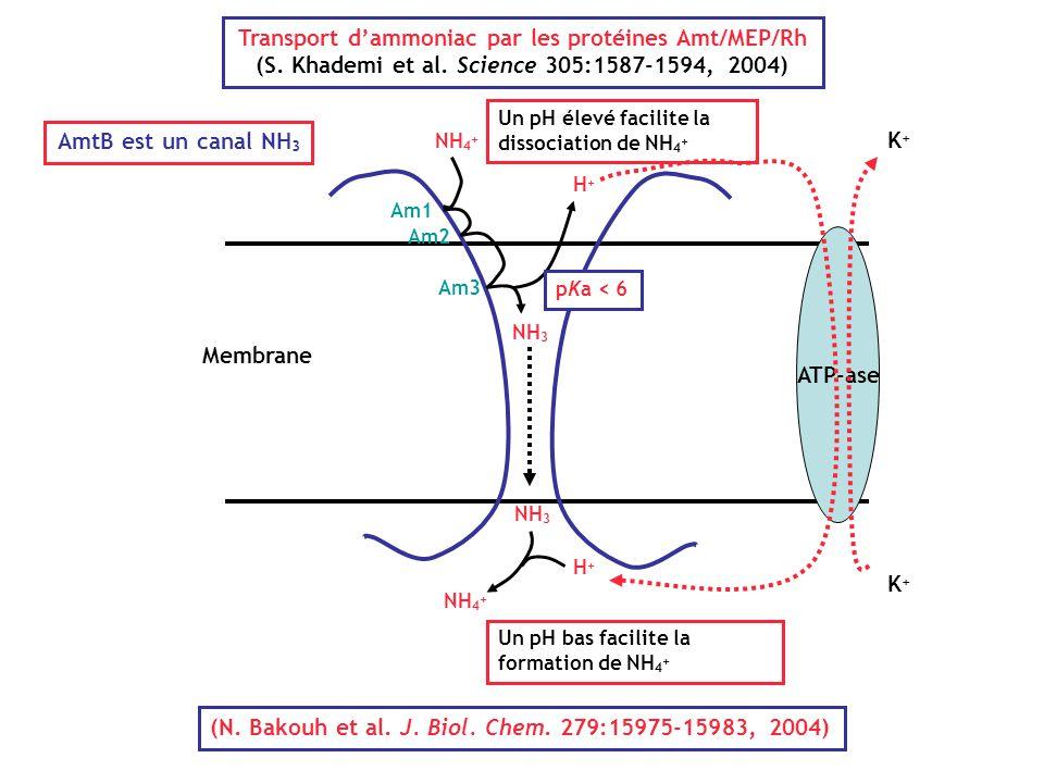 Transport d'ammoniac par les protéines Amt/MEP/Rh
