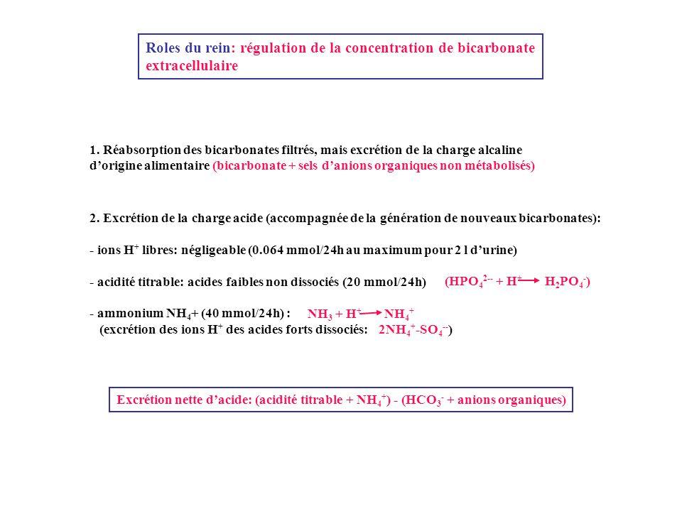 Roles du rein: régulation de la concentration de bicarbonate