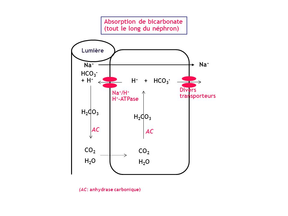 Absorption de bicarbonate (tout le long du néphron)