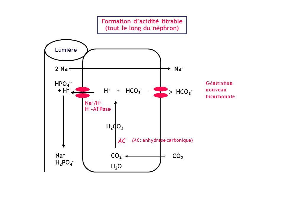 Formation d'acidité titrable (tout le long du néphron)