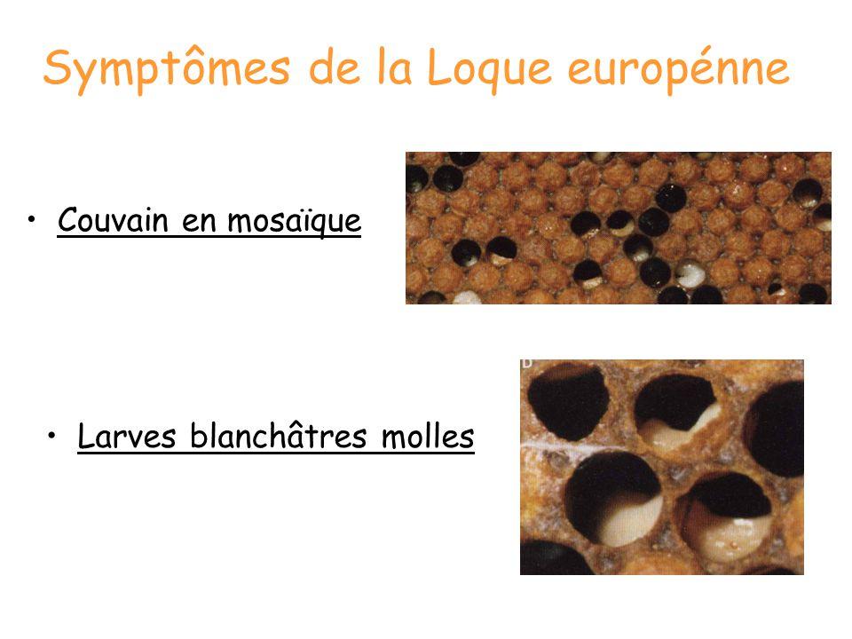 Symptômes de la Loque europénne