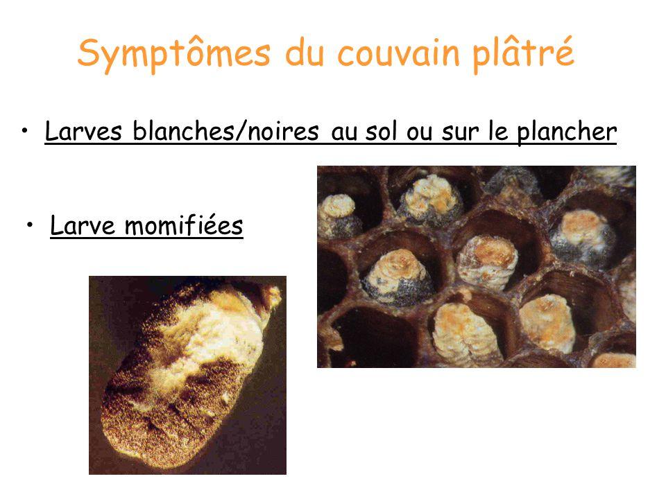 Symptômes du couvain plâtré