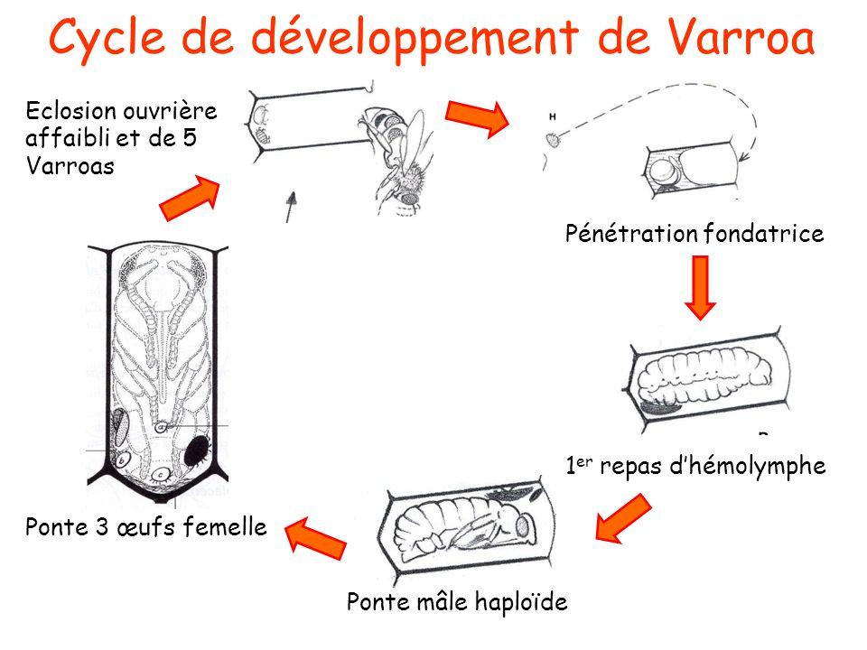 Cycle de développement de Varroa